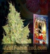 Delicious Critical Kali Mist feminized single seeds for sale uk